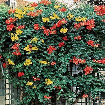 climbing vine orange trumpet shaped flowers