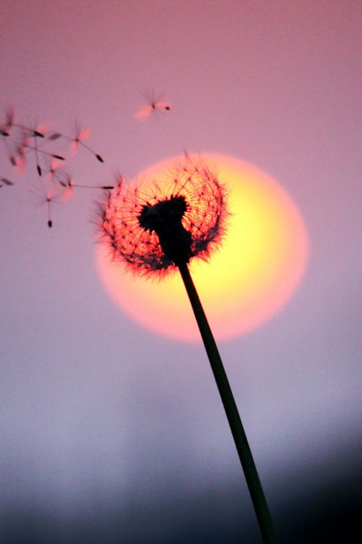 Sunset in dance of the dandelion