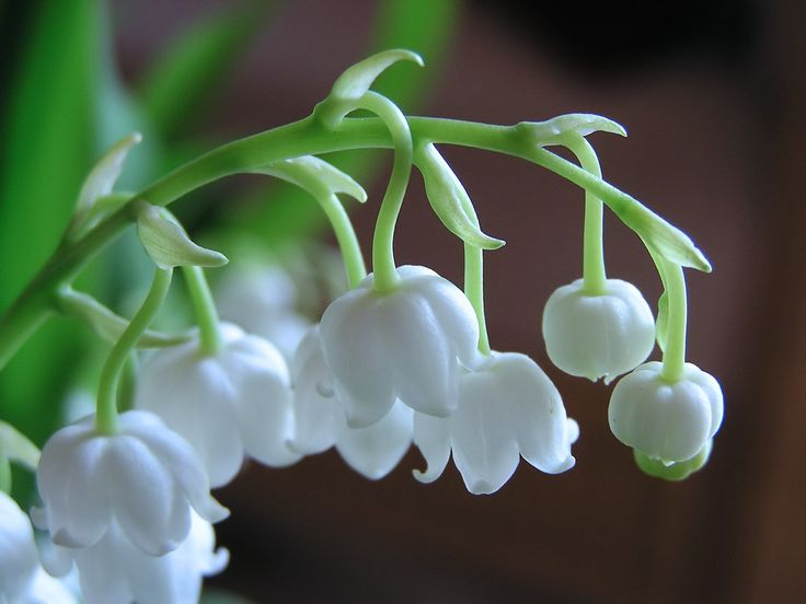 Lily Of The Valley - May birthday flower | DALY BEAUTY