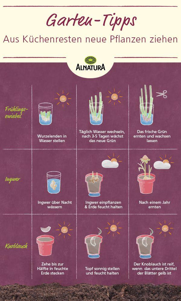 Dieses Gemüse musst du nie mehr kaufen! Du kannst aus den Küchenresten einfach wieder neue Pflanzen ziehen. Das geht ganz leicht auf der eigenen Fensterbank. #Alnatura #nachhaltig #diy #garten #balkon #pflanzen #easy