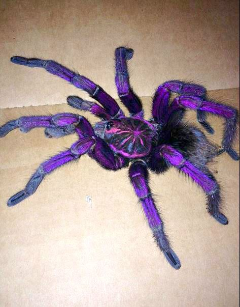 Wow! Shockingly Gorgeous Brazilian Pinkbloom TARANTULA Wows with its Purple Hue! - The Featured Creature