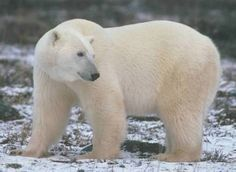 Animales de la Tundra   (zorro ártico, libre ártica, oso polar, búho nival, reno, oso kodiak, buey)