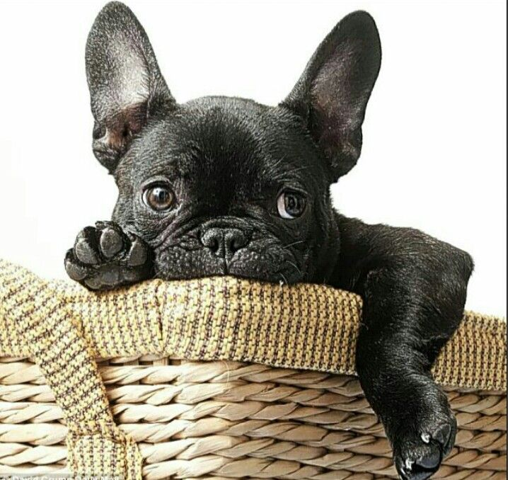 French Bulldog Puppy Repinned by Hale Harden | #HHLifestyle #HaleHarden…