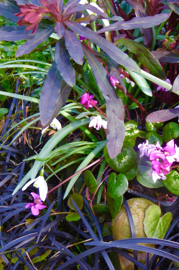 Cyclamen coum,snowdrops and Euphorbia