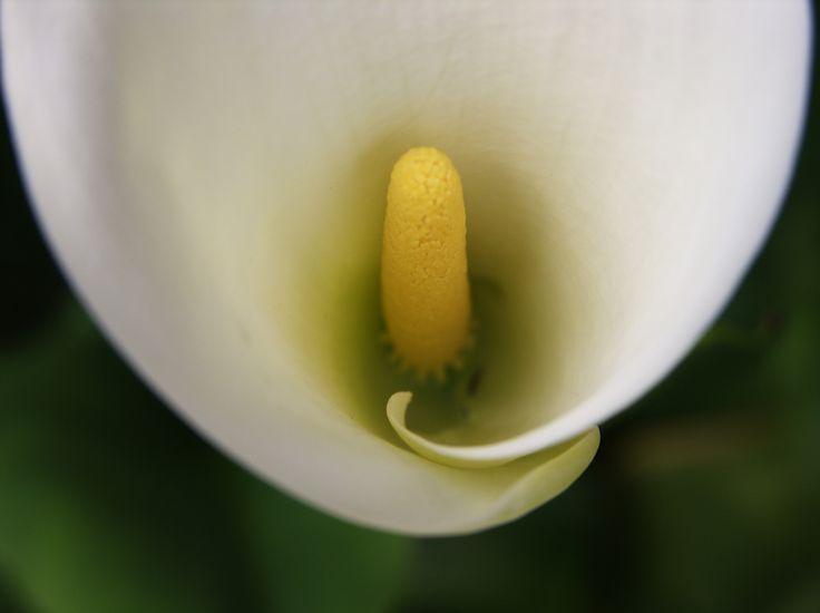 Calla, la perfezione della natura