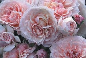 """~Lexy - The first word that comes to mind is """"fantastic"""". The blooms match their namesake, our granddaughter Alexandra. The old-fashioned, fragrant,..."""