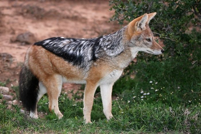 images jackel | jackal - photo/picture definition at Photo Dictionary - jackal word ...