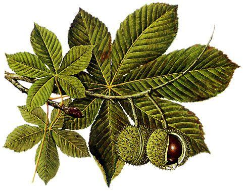 Kastanie / Chestnut