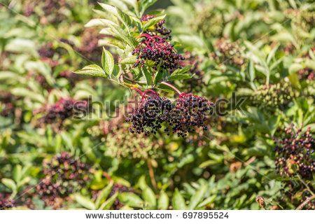 Close up of ripe berries of  elderberry, Sambucus nigra