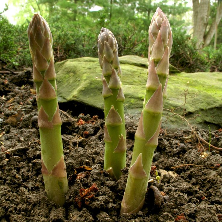 Grow Calm and Live Long | As a lung tonic, wild asparagus root is said to also soften the skin and help keep it supple and smooth. Prolonged use is said to help with impotence and frigidity. EastWestHealingAcademy.com