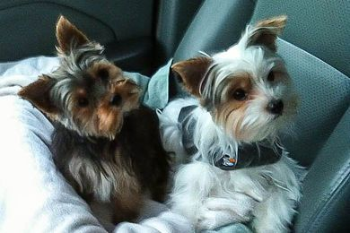 Teacup Yorkies for Sale in TN| Teacup Parti Yorkies for Sale in TN| Yorkie Breeder in Tennessee| Parti Yorkie Puppies for Sale | Baby Doll Yorkies for Sale