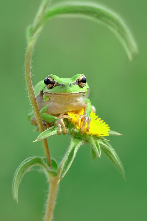 Green Frog on a Dandelion Bloom