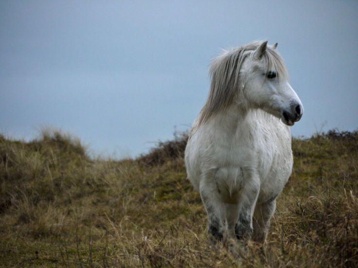 Welsh Pony at Newborough Warren, Anglesey.