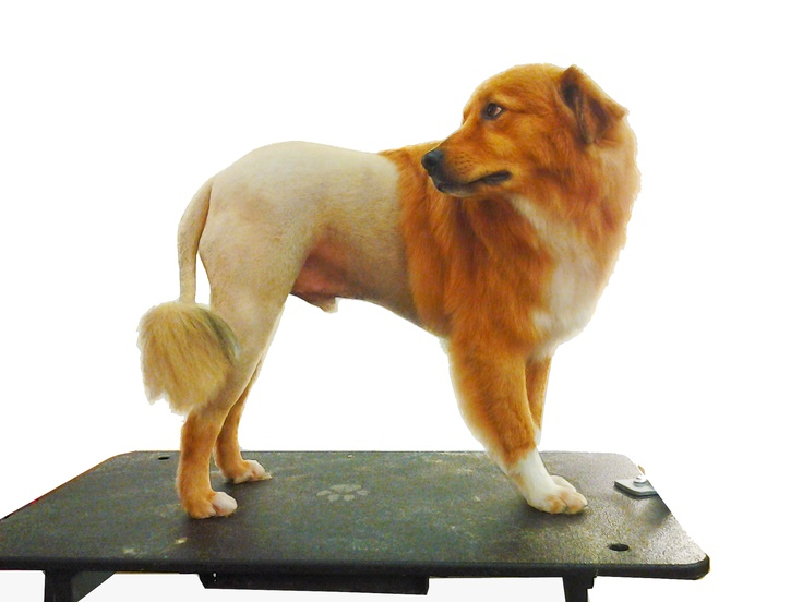 18 best lion cuts images on pinterest lion lions and little dogs dog grooming doesnt have to be hard for you to do on your own heres a dog grooming how to on natural mane lion cuts modeled by our amazing dog louie solutioingenieria Gallery