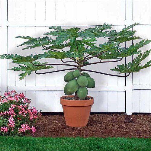 Papaya TR Hovey Tree - Carica papaya - Fácil de cultivar frutas - 4