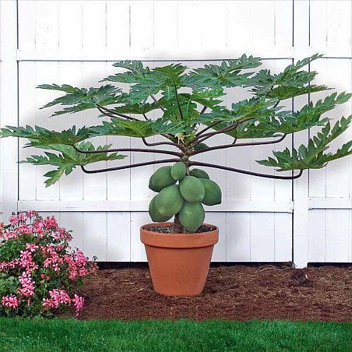 "Papaya T.R. Hovey Tree - Carica papaya - Easy to grow fruit - 4"" Pot 9GreenBox,http://www.amazon.com/dp/B004AX797A/ref=cm_sw_r_pi_dp_z.JTsb0WYMPK78DK"