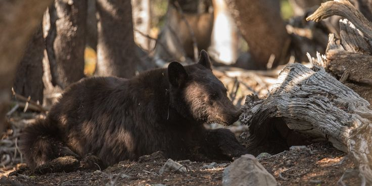 Black bears in the Yellowstone area can climb trees and raid squirrel caches for whitebark pine nuts