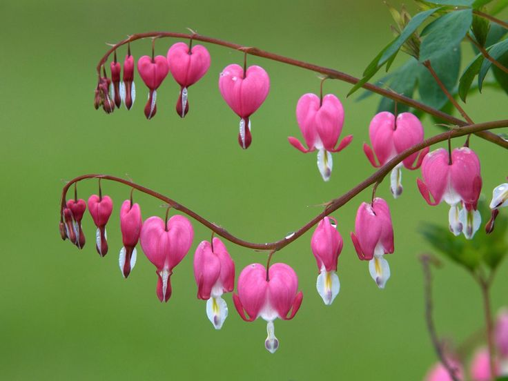 """Have a heart that never hardens, and a temper that never tries, and  a touch that never hurts."""" Charles Dickens  ///  Bleeding Hearts, Ontario"""