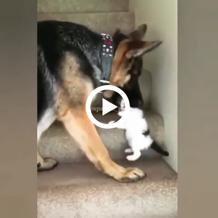 Dog Helping Cat Go Upstairs Funny Animals