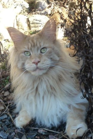 Maine Coon Red Solid (ds). (N)Lurvens Fellini