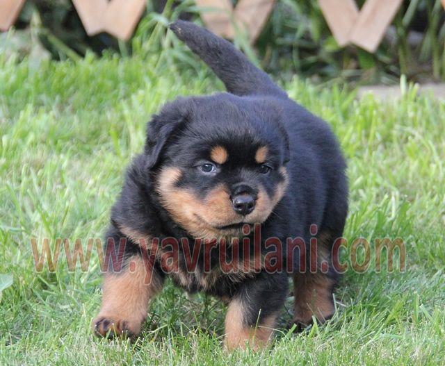 Satılık Rottweiler yavruları http://rottweiler.yavruilani.com/satilik-rottweiler-yavrulari-2/