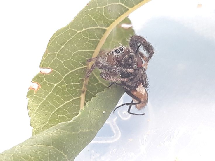 Araña saltadora sp./ Jumper spider sp.