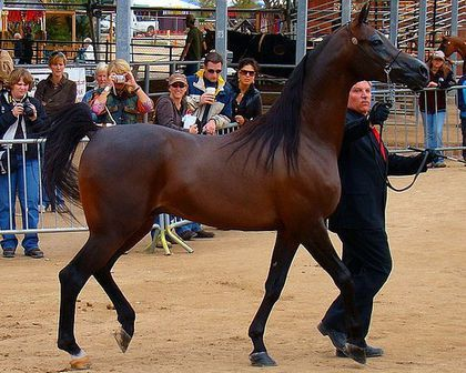 caballos arabes.