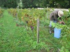 David and Maggie harvesting the Pinot Meunier