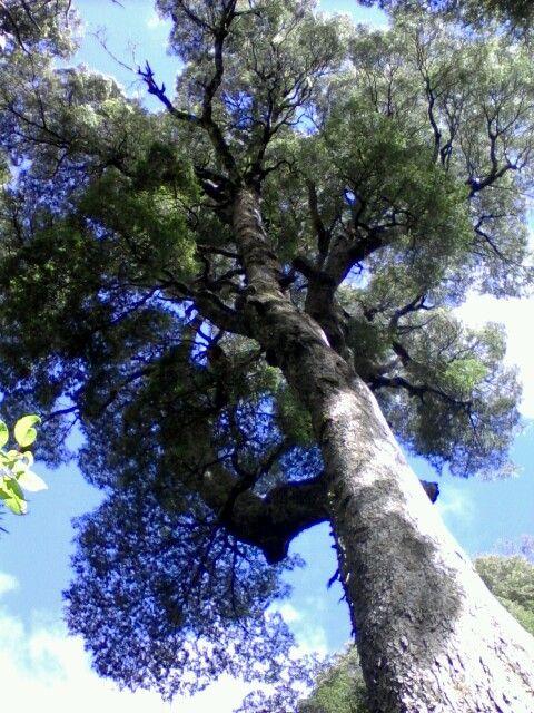 Arboles Milenarios Parque Nacional Coguillio