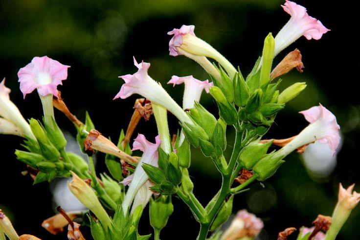 Beneficios de la planta del Tabaco y usos para aprovecharlos