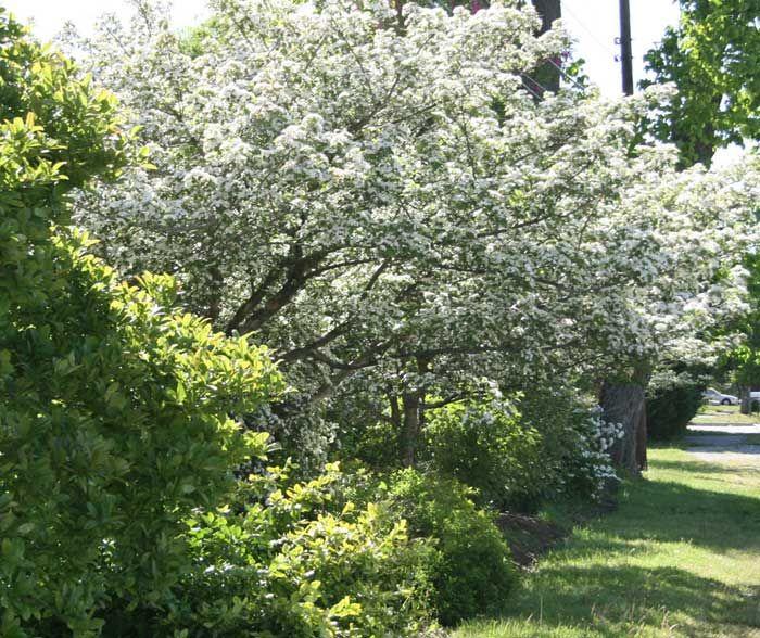 159, Native Hawthorn Tree, hosts 159 species