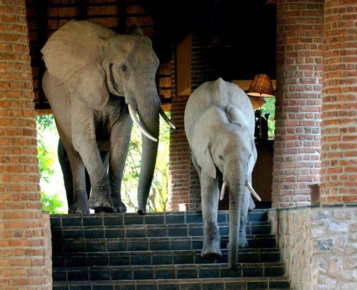 Wild elephants walk through Mfuwe Lodge, Zambia