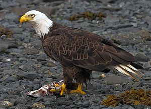 Bald Eagle Once on the endangered list is making a comeback and I've seen them here in PA