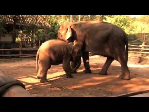 The Last Elephants In Thailand- a documentary about the cruel and abusive elephant tourism trade in Thailand.  Don't support elephant tourism!!!!