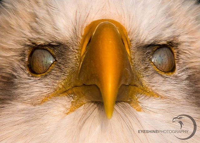 Golden Hour Series 2 3 Bald Eagle The Eyes Show The
