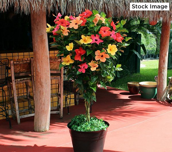 Cottage Farms Tropical Sunrise Braided Hibiscus Tree Qvc Com