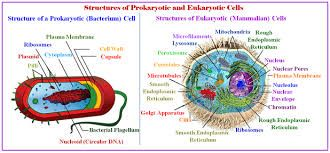 Image result for prokaryotic cells with labels and definition