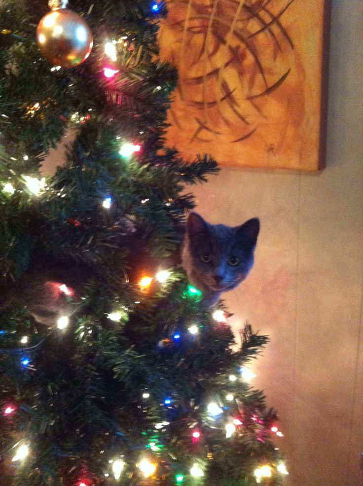 My cat in the christmas tree last year!