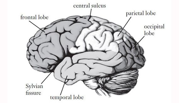 the psychodynamic theory of the brain functions A definition of equipotential theory, is presented the theory assumes that all areas of the brain make an equal contribution to overall functioning.