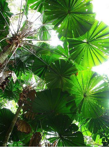 Australian fan palm . Courtyard