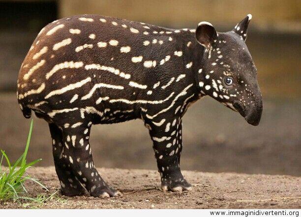 Cucciolo di Tapiro della Malesia, Immagini Divertenti