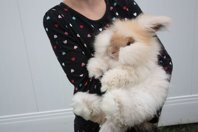 angora rabbit, English angora bunny