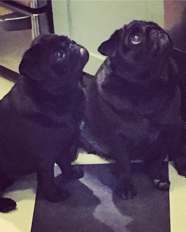4787 best just pugs 3 images on pinterest pug dogs pets and doggies omp just got this photo of pearl on the left zelda sesames daughter and ruby on the right zelda sesames sister they live together in santa rosa fandeluxe Image collections