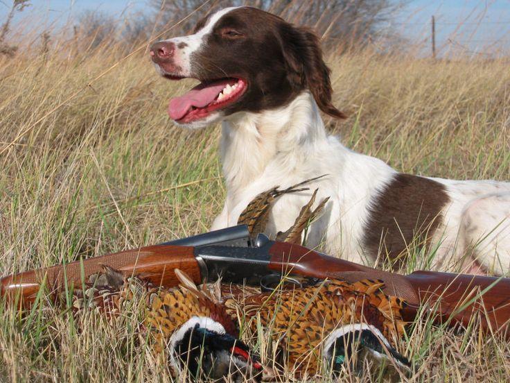 English Springer Spaniel Hunting 56 best images ...