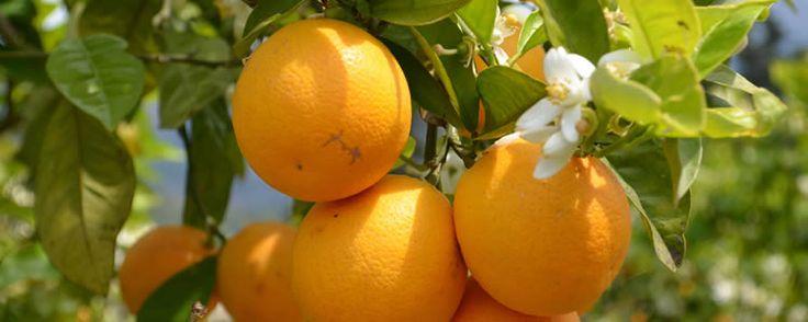 Navelina Orangen
