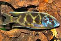 Malawi Cichlids, Haplochromis cichlids, Haps, Fish information on the types of cichlids from Lake Malawi and their habitats.