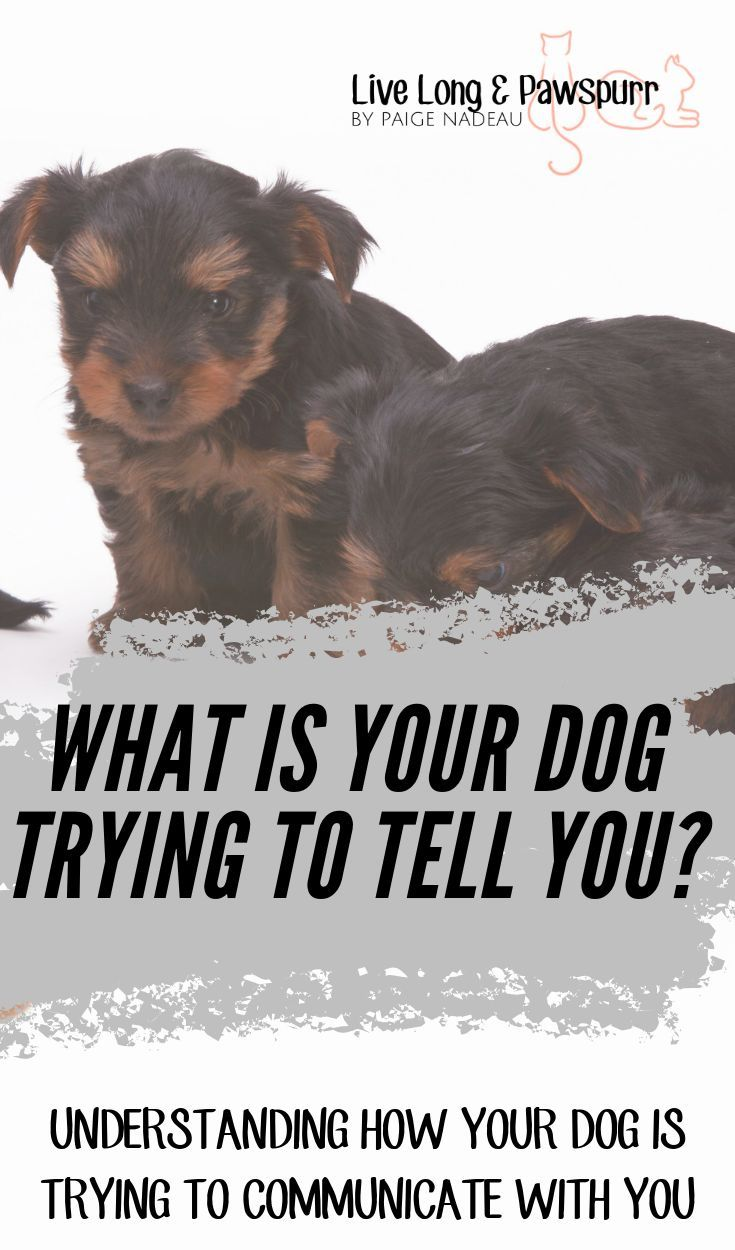 Understanding How Your Dog Communicates To You Dogs Dog Facts
