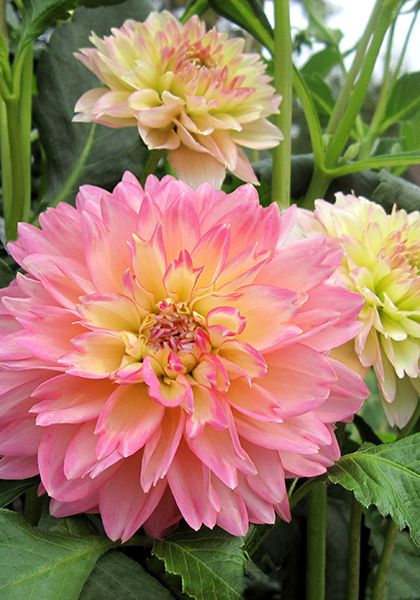 Rosemary Webb Waterlily Dahlia ...peony-like flowers that mature to apple-blossom pink    Old House Gardens Heirloom Bulbs