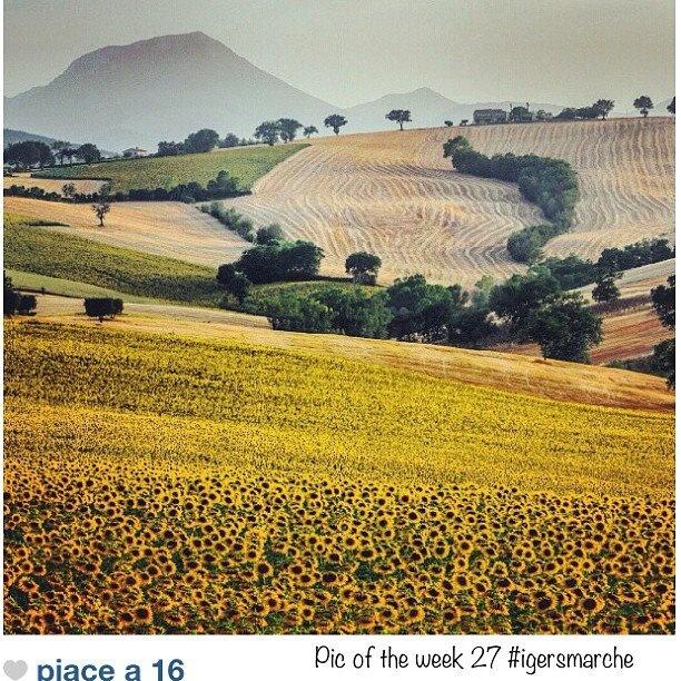 Monte San Vicino - Girasoli e campi di grano