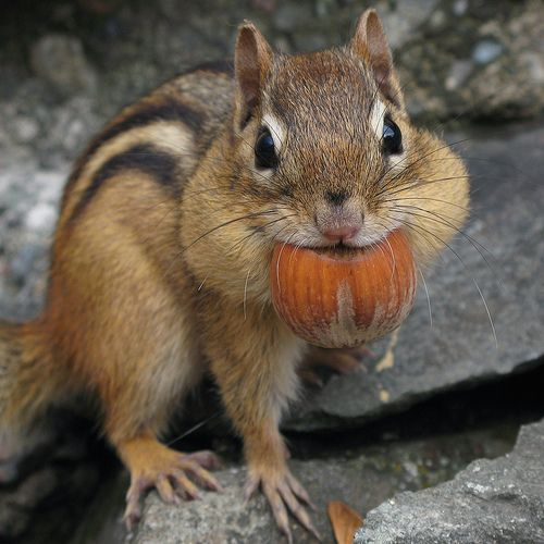 chipmunk with nut